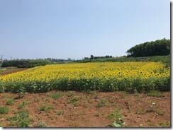 ひまわり畑♪